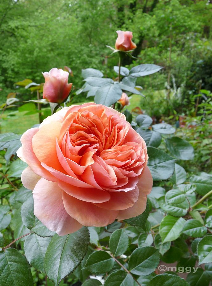 Chippendale - Floribunda rose by Tantau