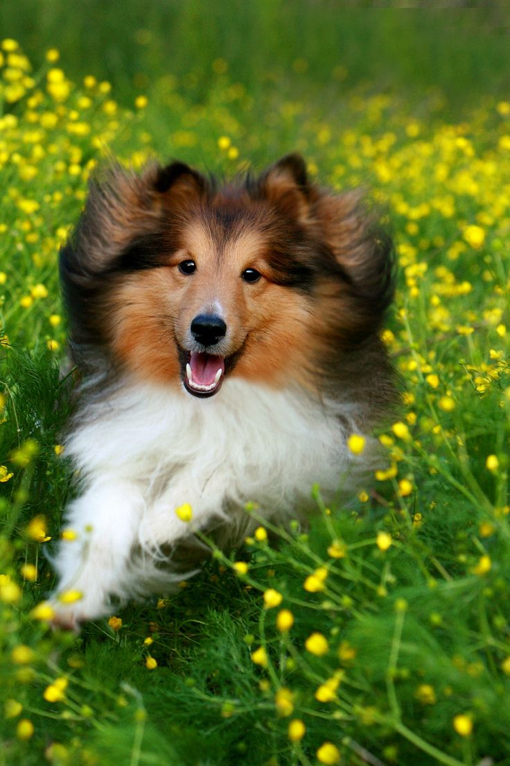 Aww! I love Shelties!!! ❤