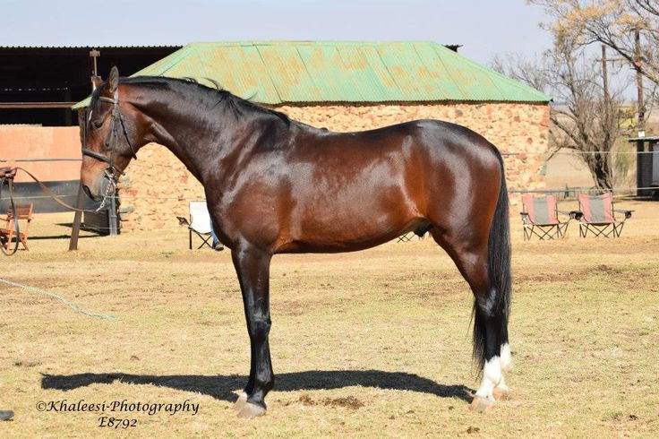 Rooigras Spend a Pound (30/11/2011) Sire: Vyfhoek This is my Song Dam: Carel-Hancke Pennie