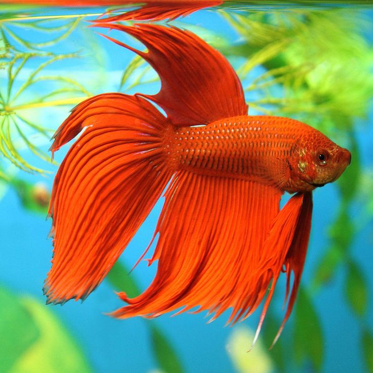 Fun Facts and Helpful Tips About Betta Fish: Siamese fighting fish, or betta fish, are a vibrant addition to any home and don't require lots of fuss or muss, but what do you really know about this fish?