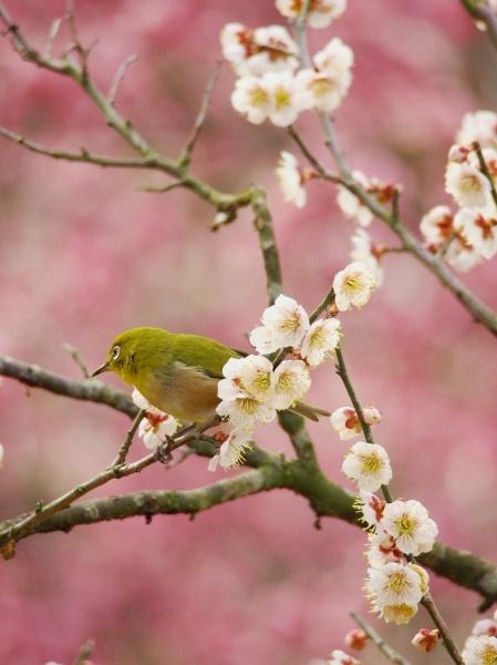 メジロ(スズメ目) (梅とメジロ)  sakura to mejiro