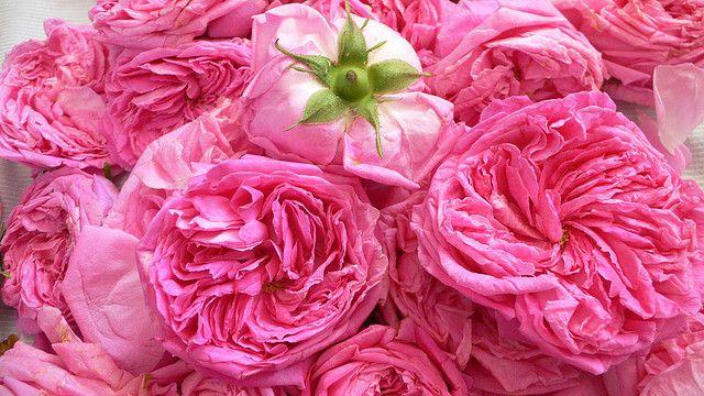 Isparta the famous Isparta roses