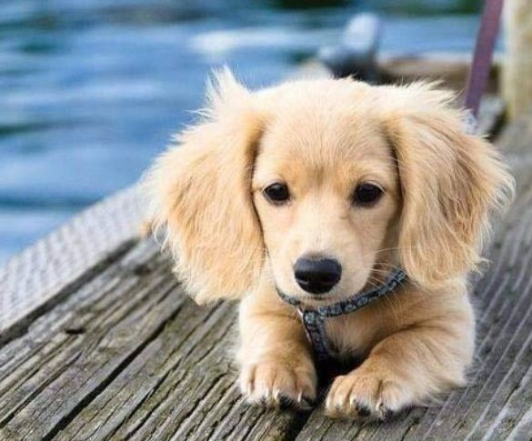Golden Retriever / Weiner Dog