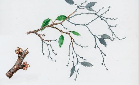 Sauerkirschen des Wuchstyps 'Schattenmorelle' müssen jeden Sommer nach der Ernte kräftig ausgelichtet werden, damit sie fruchtbar bleiben. Vor allem entfernt man die kahlen, herabhängenden Peitschentriebe