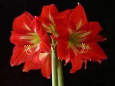 A amarillisz hagymás növény, amely – szakszerű gondozás mellett – a tél közepén 1-3 virágszárat fejleszt, rajtuk 3-4, hatalmas, tölcsér alakú, piros, fehér vagy cirmos virággal.