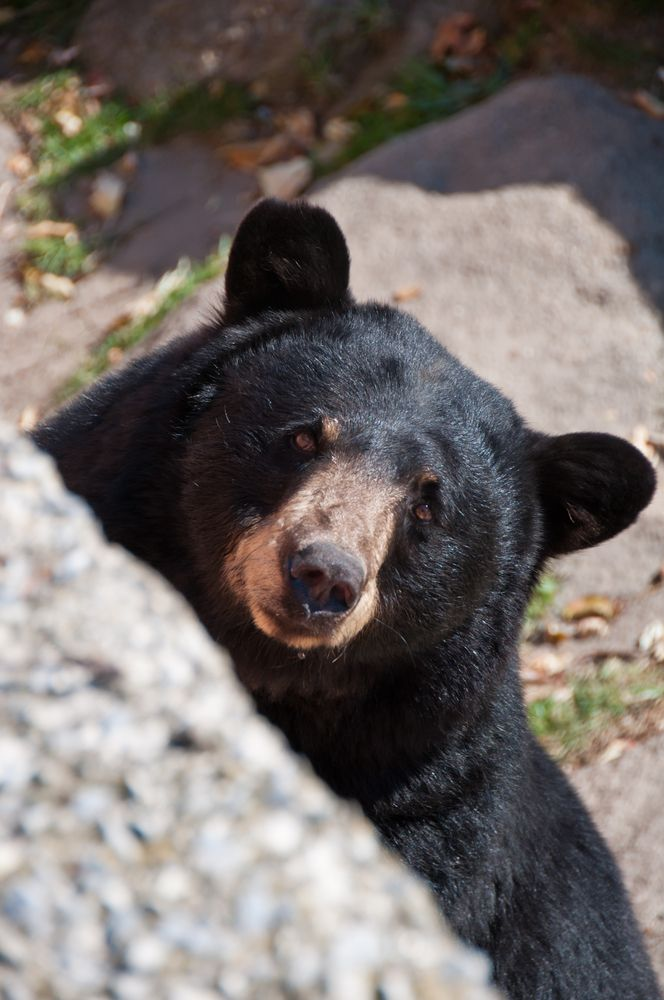 Black Bears are also quite prevalent in the Smokies with over 1,500 living in the park. That is roughly two bears per each square mile! The bears and their habitat are fully protected through the Great Smoky Mountain National Park.