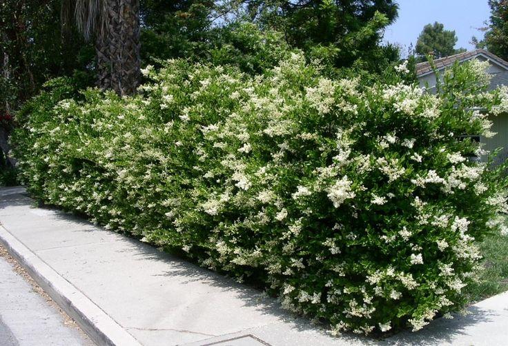 Wax Leaf Privet (Ligustrum japonicum 'Texanum') left to grow naturally as hedge