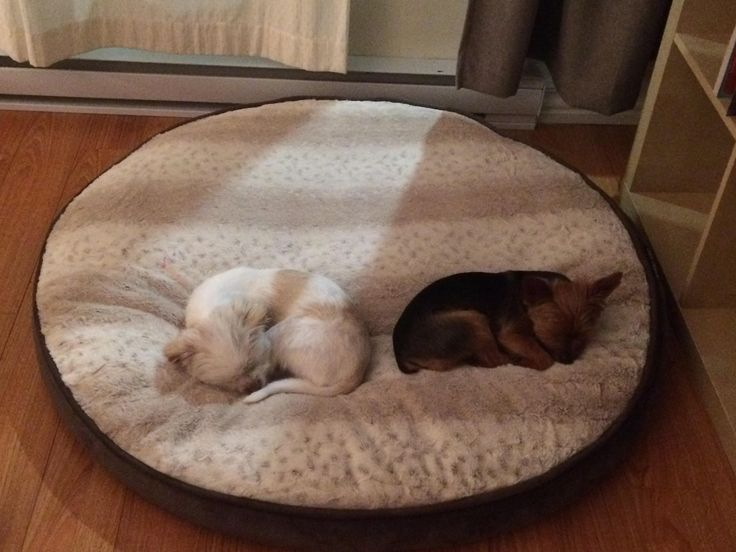 meet gary white and walter black these guys are best friends they are 4 and 8 pounds and have a giant dog bed from costco