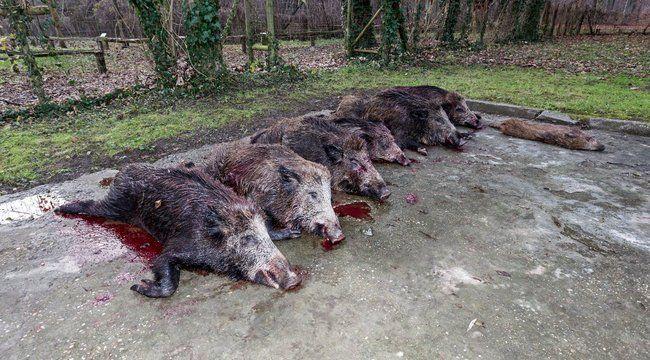 A puskák elé terelték a vadakat, majd viszonylag közelről végeztek velük