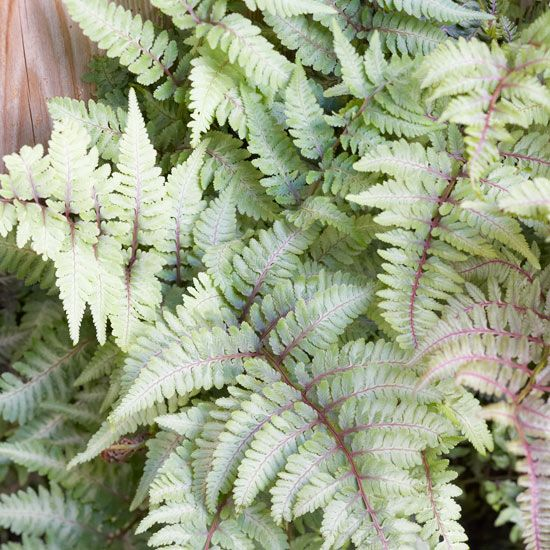 Low-maintenance ferns appear in an incredible array of textures and colors. Here are top varieties to plant in your garden.
