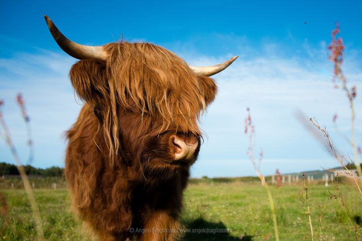 Scottish Cow - Scottish Cow in High Lands