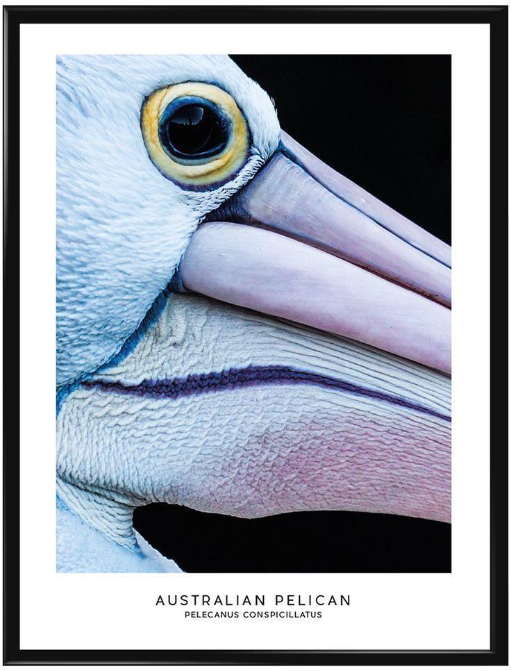 Den Australianska Pelikanen, en mycket vacker och unik fågel på många sätt. På…