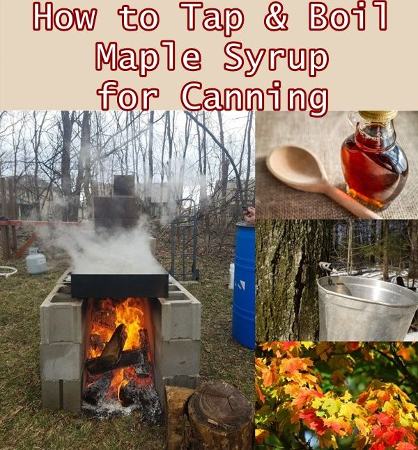 How to Tap and Boil Maple Syrup for Canning Homesteading  - The Homestead Survival .Com