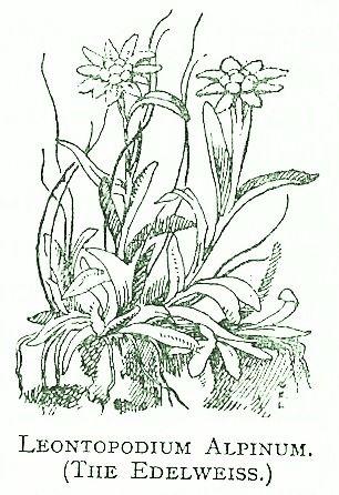 leontopodium-alpinum1.jpg 306×446 pixels