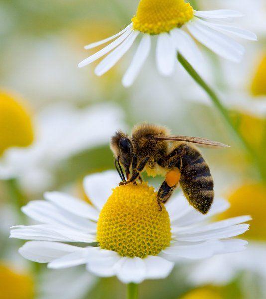 Biene bei der Arbeit (Archivbild): Zum Start des Kurses prasselt eine Flut aus... Be careful! http://www.garteninspektor.com/blog/bienen