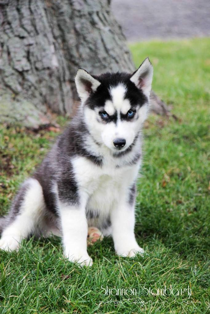 Parker Male Siberian Husky Full Price 775 Deposit