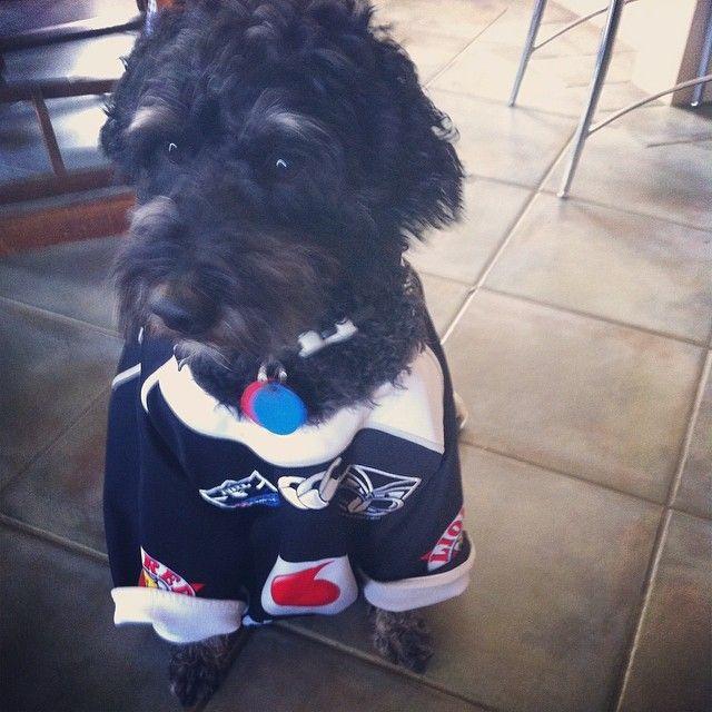 A little Vodafone Warriors supporter - from @PrincesPeps #Pets #WarriorsForever #Supporter