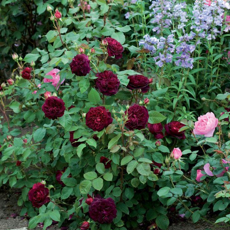 Rose munstead wood google keres s domokos roz lia for Rosier grimpant pour mi ombre