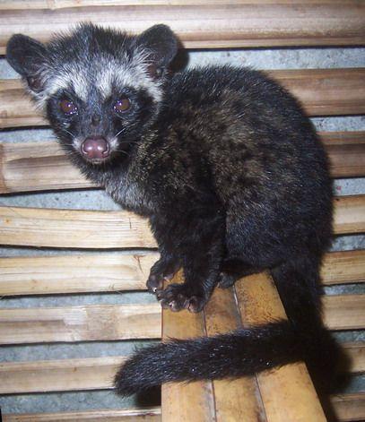 Asian Palm Civet juvinile