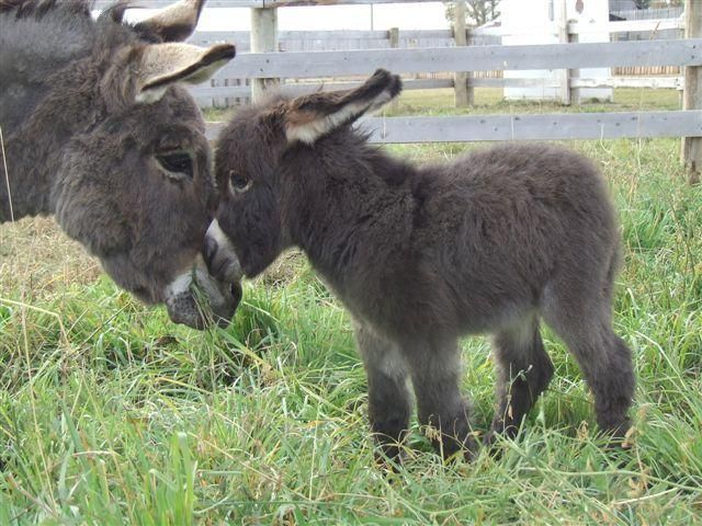 Baby Donkey- how sweet and adorable is this! Awwwwww...