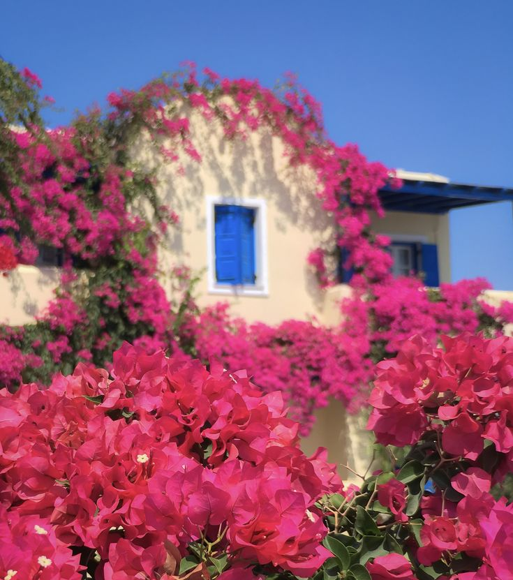 Beautiful Bougainvillea for your Friday 😃 #Santorini #Greece #flowers #bougainvillea #pink #photo #phototour #iphone #wishyouwerehere #phonetography #phonetographytour #discoverGreece #I_love_Greece #island_life #summer #shotwithiphone #phone #instagraphy #bucketlist #mobile #instapic #landscape #travelphotography