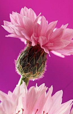 Flowers...Flowers...Flowers...Cornflower: Favorite Flowers, Beautiful Blooms, Pink Cornflower, Beautiful Flowers, Beautiful Blossoms, Garden, Floral