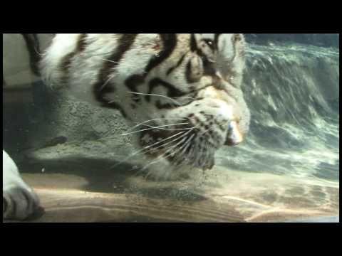Amazing Rare Underwater Bengal White Tiger Video. Soooo awesome!