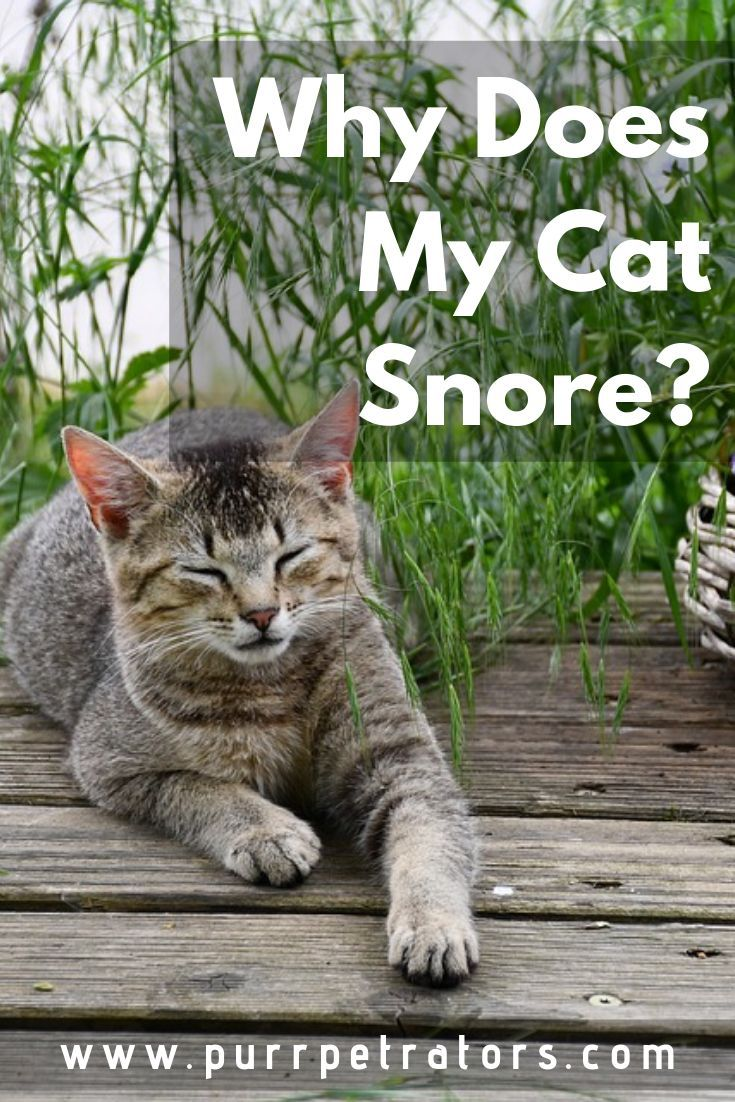 Why Does My Cat Snore? Cats, Cool pets, Snoring