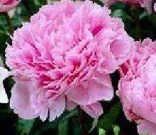 Takalo-Roppolan puutarha- ja mansikkatila: PIONIEN ALKUJA