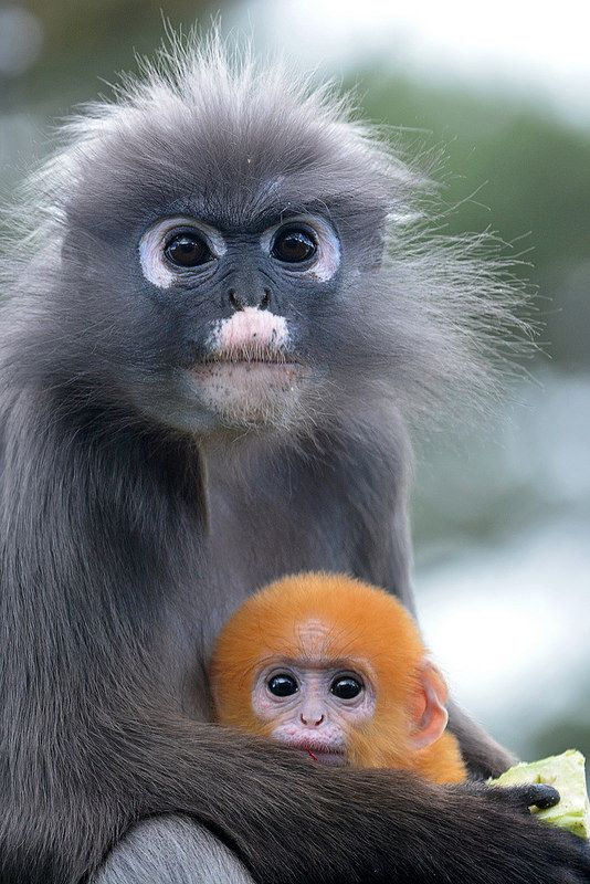 Dusky Leaf Monkey & Young  Brillangoer (Trachypithecus obscurus) Burgers' Zoo, Arnhem, The Netherlands Conservation status: Near threatened