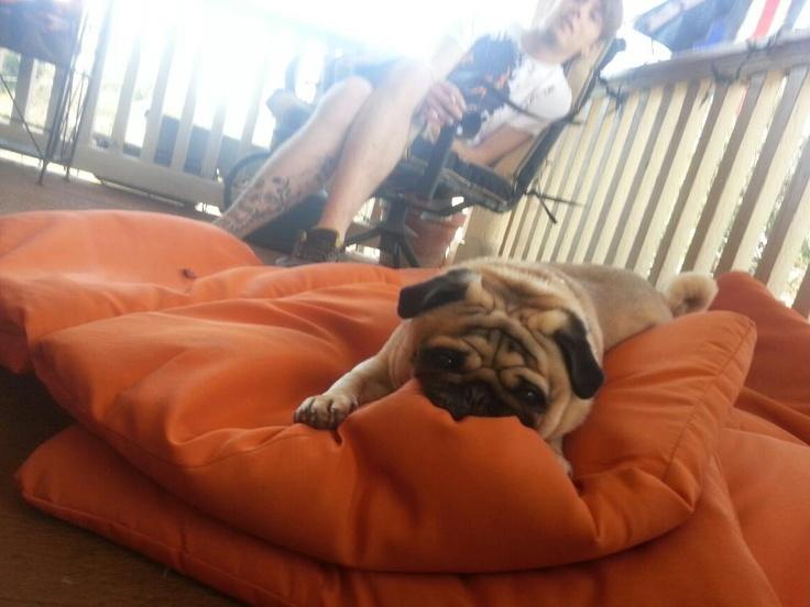william of orange pug