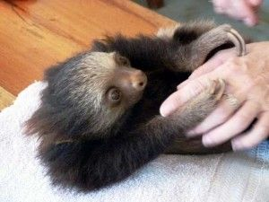 2 toed sloth located in Costa Rica  http://www.villascostarica.com/blog/2014/06/animal-planet-films-meet-the-sloths-cahuita-sanctuary/