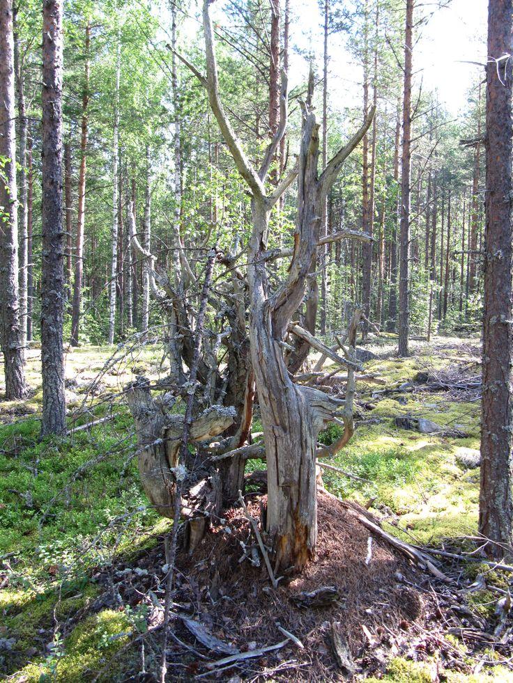 Tämä metsä Kinahmossa on minulle kuin toinen koti