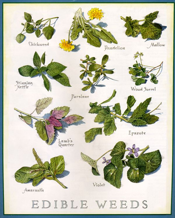 50 Essential Wild Edible, Tea, and Medicinal Plants You Need to Know by TacticalIntelligence.net