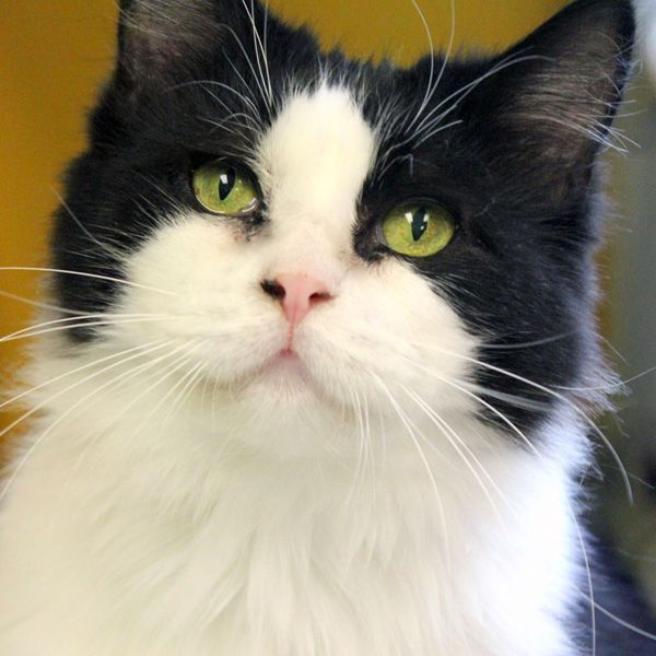 Date of birth: 20085/30/13: Chrissa is a beautiful black and white Ragdoll. She has a fluffy coat, but under all that fur she's pretty small and only weighs 7 lbs. Chrissa is 5 years old. She gets along very well with other cats.Chrissa is a...