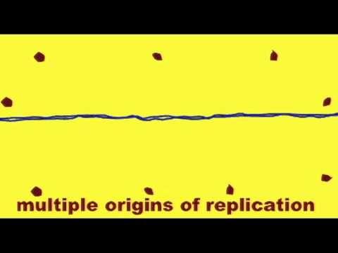 GENETICS 2: DNA REPLICATION: ORIGIN OF REPLICATION - YouTube