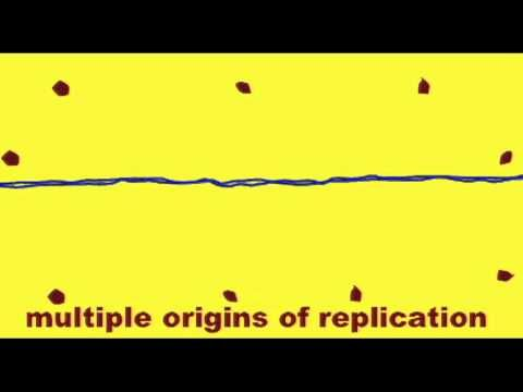 GENETICS 2: DNA REPLICATION: ORIGIN OF REPLICATION - YouTube
