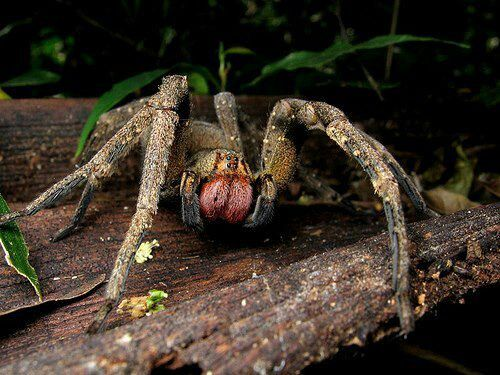 Brazilian wandering spider, the most poisonous spider in the world