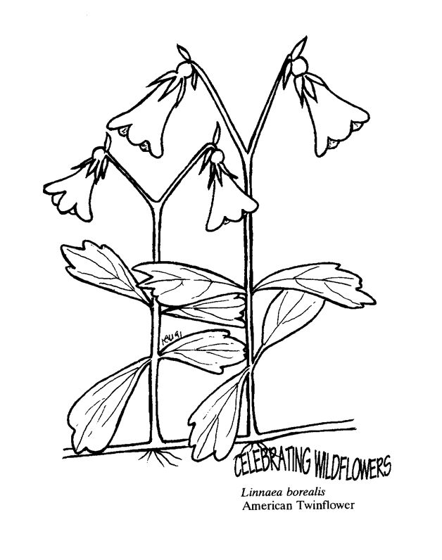 American Twinflower Free Coloring Pages For Kids