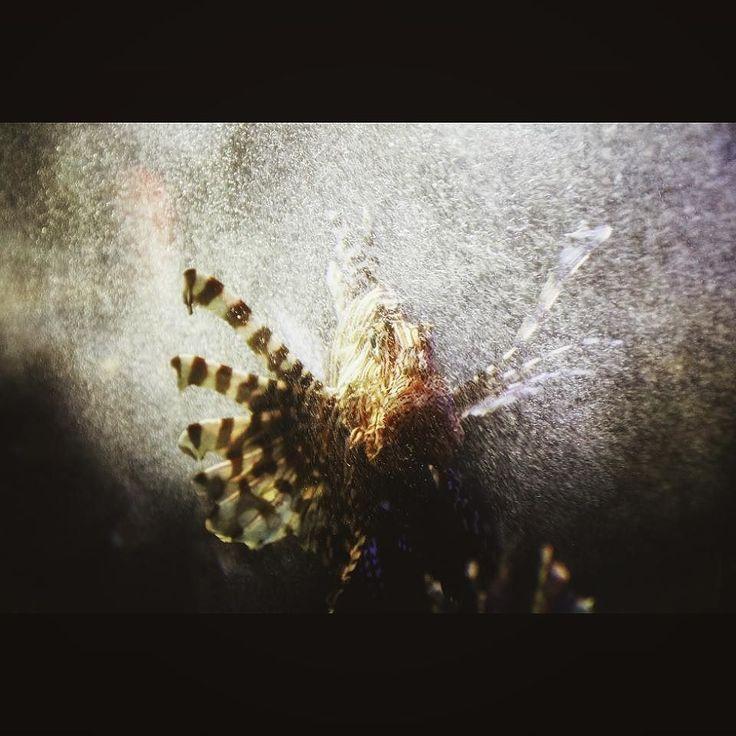 最終奥義 a lionfish with air bubbles dynamic #aquarium #fish #lionfish #airbubble #dynamicrange #eos70d #ミノカサゴ #水族館 #魚 #泡だらけ #鴨川シーワールド