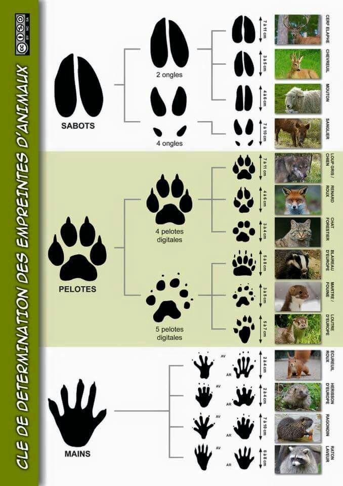 Clé de détermination des empreintes d'animaux