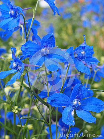 Beautiful Delphinium grandiflorum in a garden