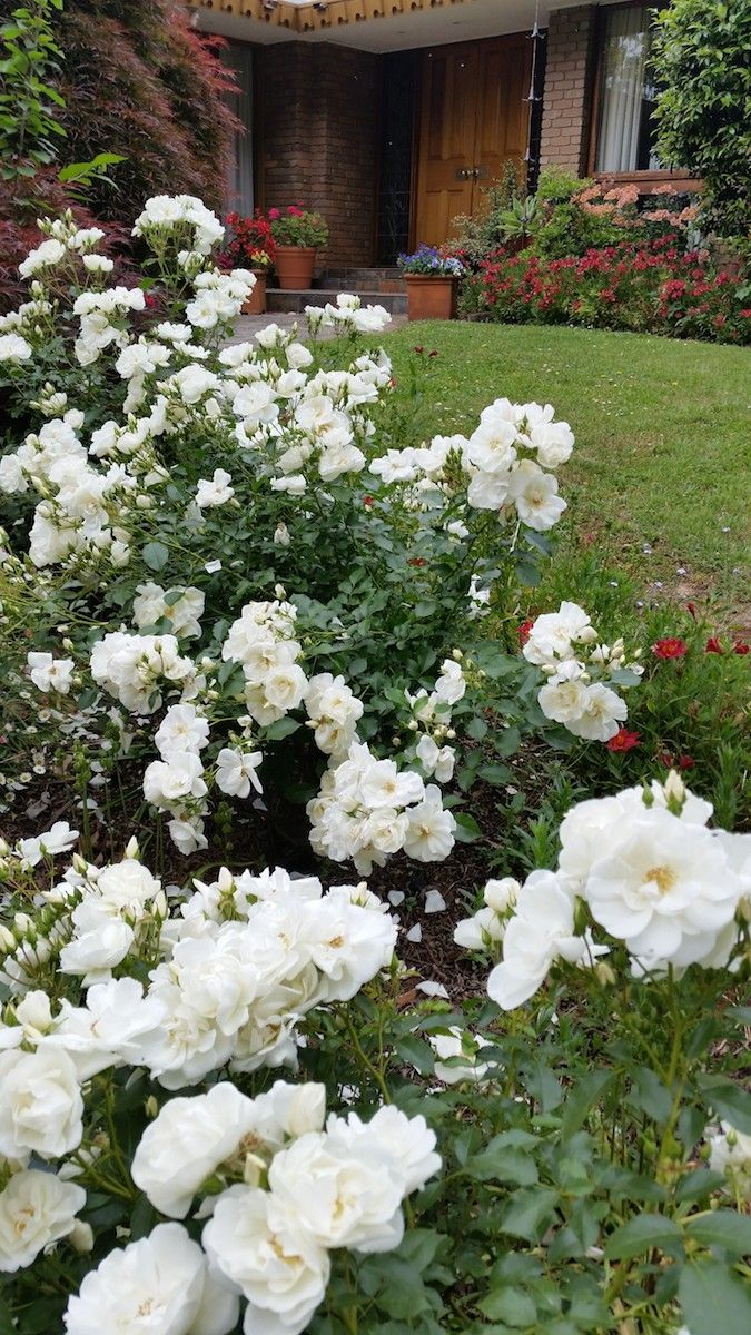 91 best flower carpet roses mixed varieties images on for Easy care garden shrubs
