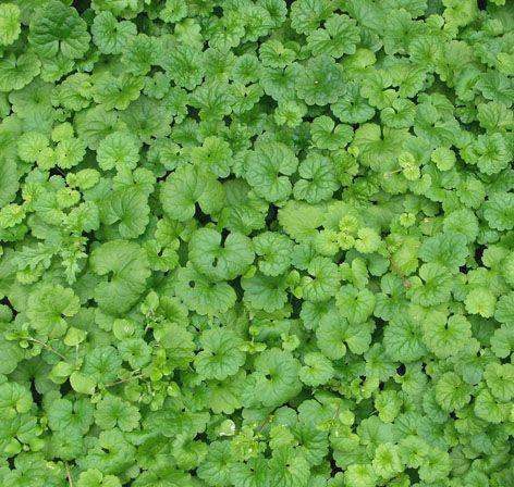 Maahumala Korkeus: 5–10 cm. Kasvutapa: Mattomainen, leviää voimakkaasti hyvin pitkillä rönsyillä. Kukinta: Touko–heinäkuu. Kukat ovat pikkuruiset, vaikkakin runsaslukuiset. Kasvupaikka: Aurinko–varjo; kasvualusta kuiva–kostea, vähä- tai keskiravinteinen. Taimiväli: 40 cm.