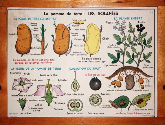 Botanique - Vintage - Affiche scolaire double face d'école Française des années 60. Les Primulacées - Les Labiées - La Pomme de Terre