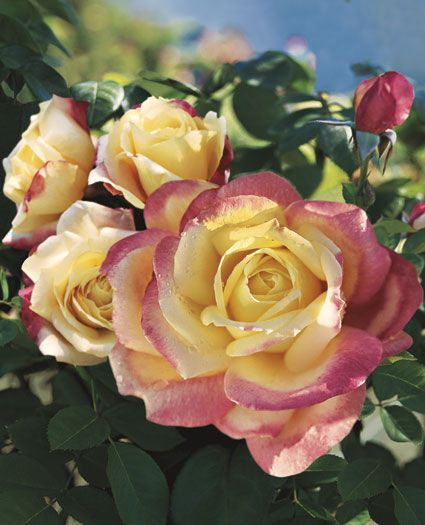 Bella'roma Hybrid Tea Rose   Wonderfully fragrant, Bella'roma boasts an intoxicating perfume for the garden walk. The bright yellow buds burst forth with softer yellow toned petals edged in pink.