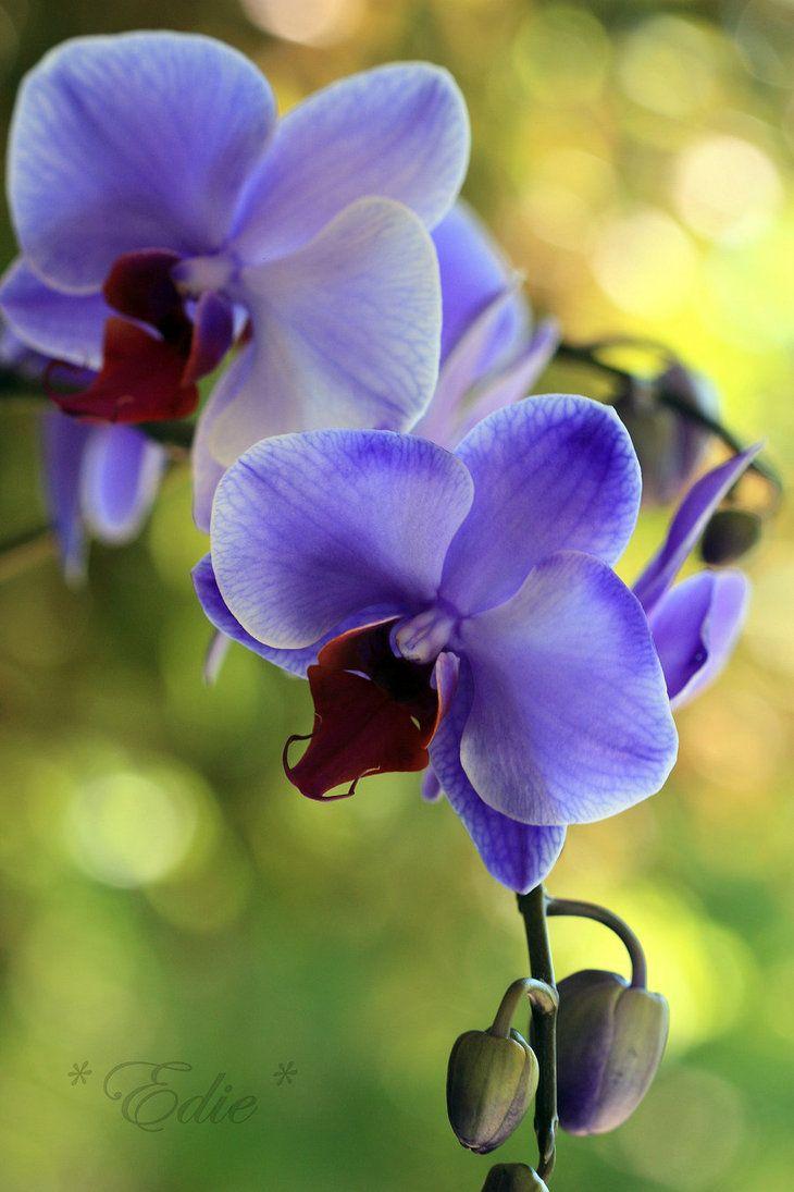 """Orchid """"Lilac Mystique"""""""