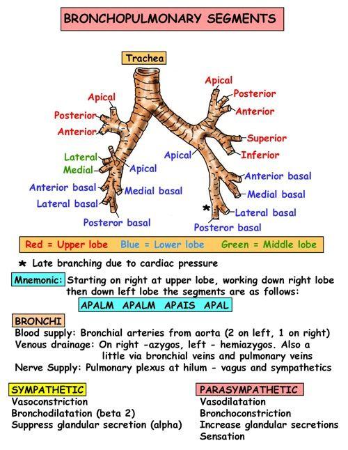 Bronchi pulmonary segments
