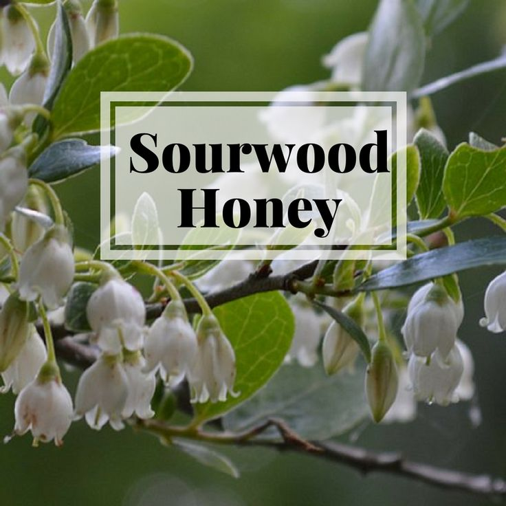 The health benefits of Sourwood Honey & other raw honeys are impressive. Cold relief, wound care, instant energy and more.