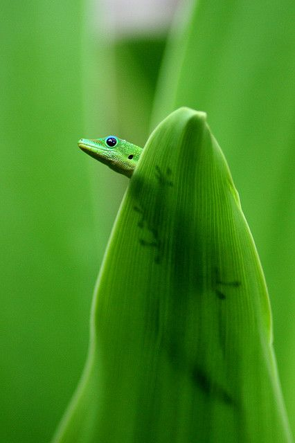 Gecko by Westlind, via Flickr